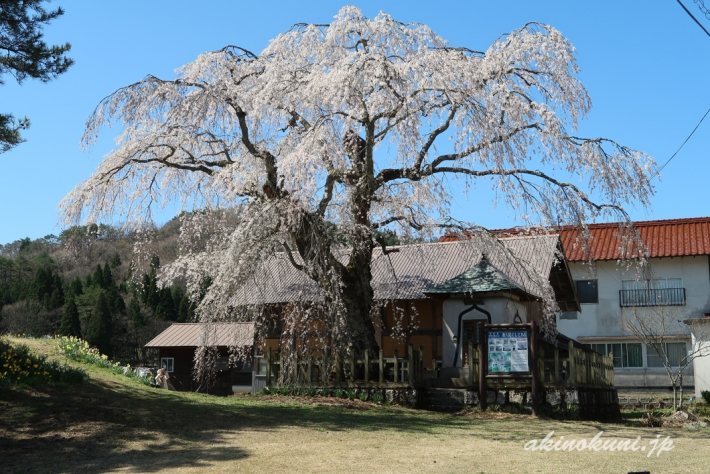 地久院のしだれ桜_1(2018年4月19日)