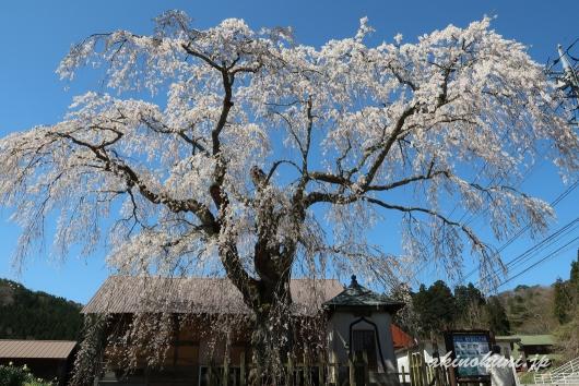 地久院のしだれ桜_2(2018年4月19日)