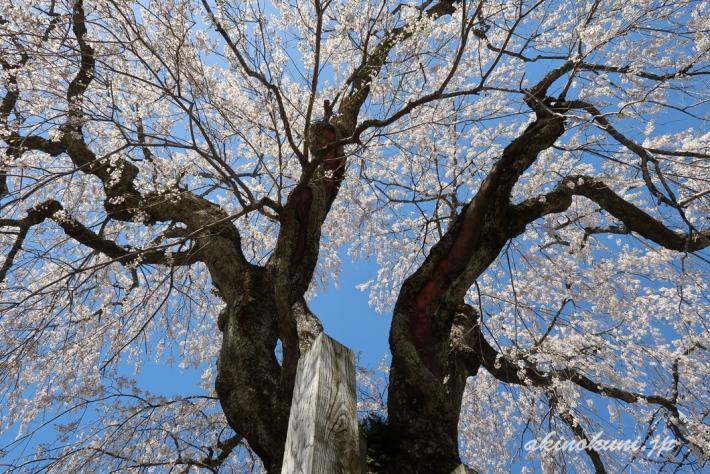 地久院のしだれ桜_4(2018年4月19日)