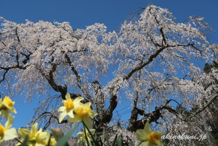 地久院のしだれ桜_5(2018年4月19日)