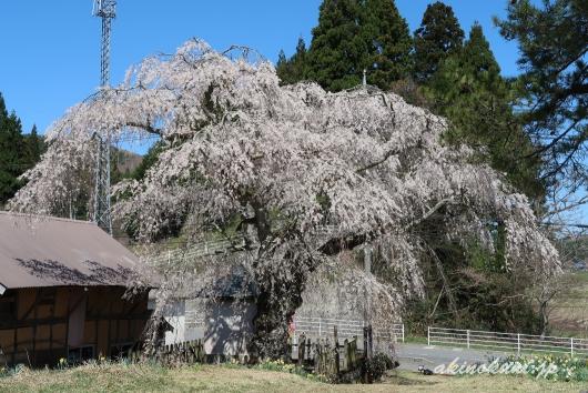 地久院のしだれ桜_3(2018年4月19日)