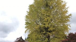 西教寺の大銀杏(2018年10月28日)-1 : iPadで撮影)