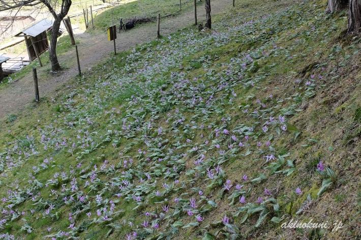 キレイに咲いたかたくりが斜面いっぱい
