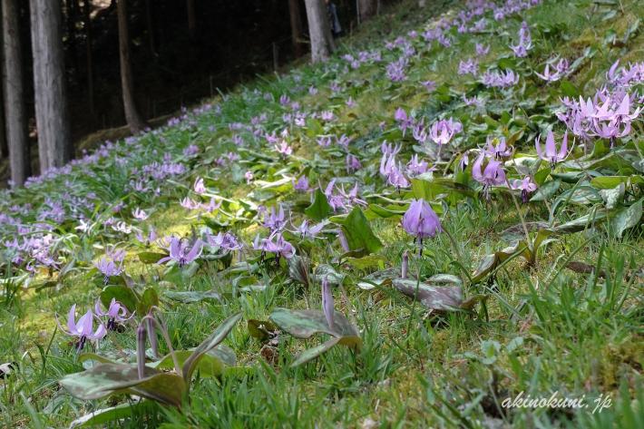 斜面に拡がるかたくりの花