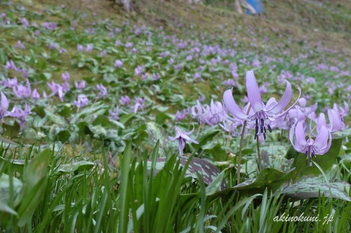 斜面に拡がるかたくりの花 2