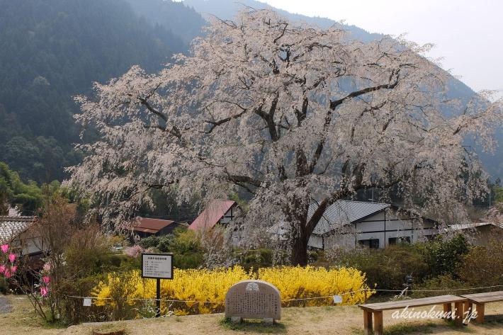 湯の山温泉のしだれ桜(竹下桜)