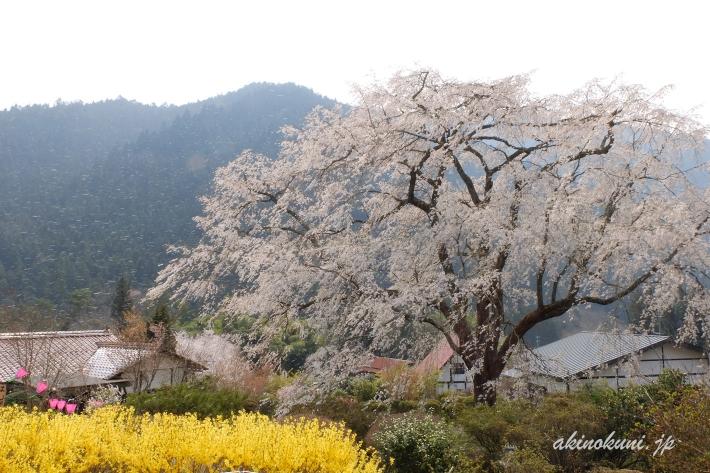 花びらが舞う湯の山温泉のしだれ桜 シャッタースピードを落として