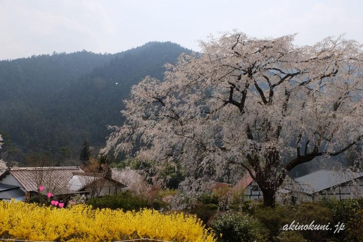 花びらが舞う湯の山温泉のしだれ桜