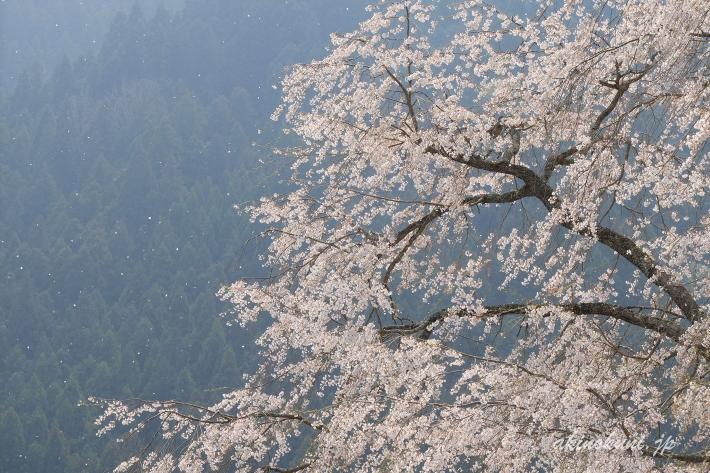 湯の山温泉のしだれ桜 舞う花びら