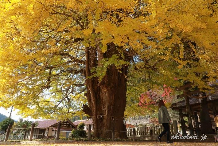 筒賀の大銀杏(2019年11月13日)-5