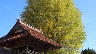 西教寺の大銀杏(2019年11月2日)