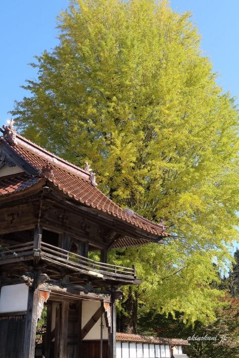 西教寺の大銀杏(2019年11月2日) 縦