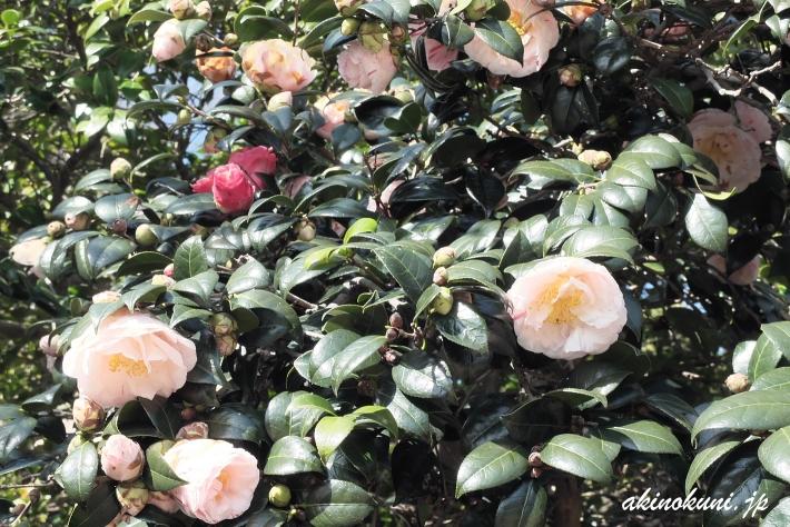 広島椿 1本の木から異なる色の花