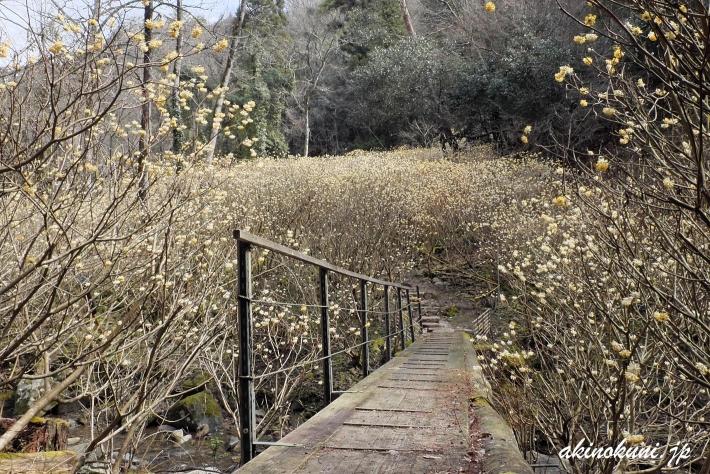 橋を渡ってミツマタの中へ