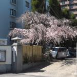 持明院の枝垂れ桜(広島市東区戸坂)