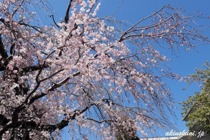 広島市東区 戸坂千足 持明院の枝垂れ桜