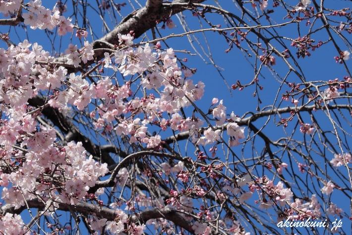 持明院(広島市東区戸坂)の枝垂れ桜 寄ってみます
