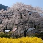 湯の山温泉の枝垂れ桜 2020年