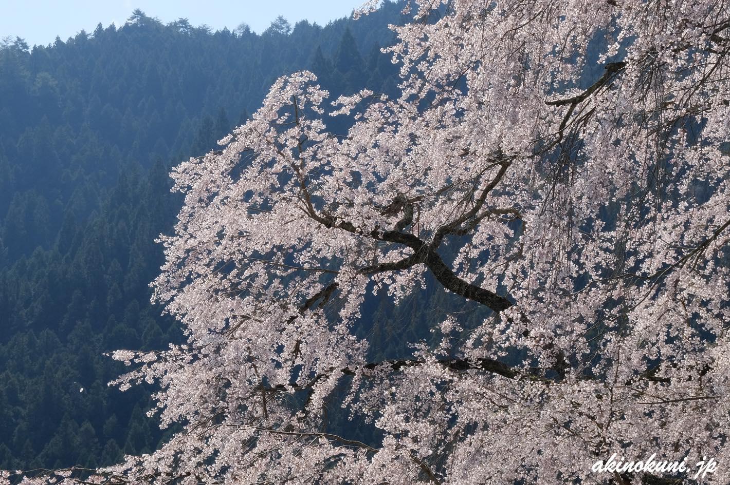 湯の山温泉の枝垂れ桜 少し寄ってみて
