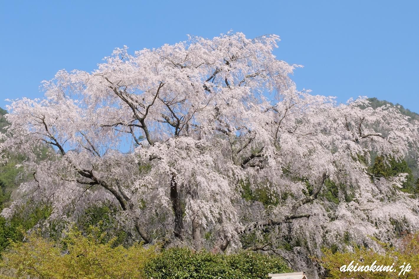 湯の山温泉の枝垂れ桜 道側から