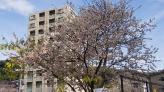 光が丘山根公園の冬桜