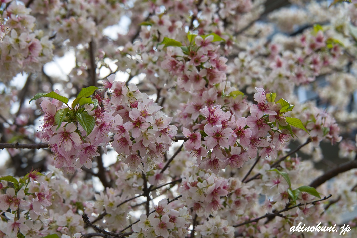 光が丘山根公園の冬桜 たくさん咲いています