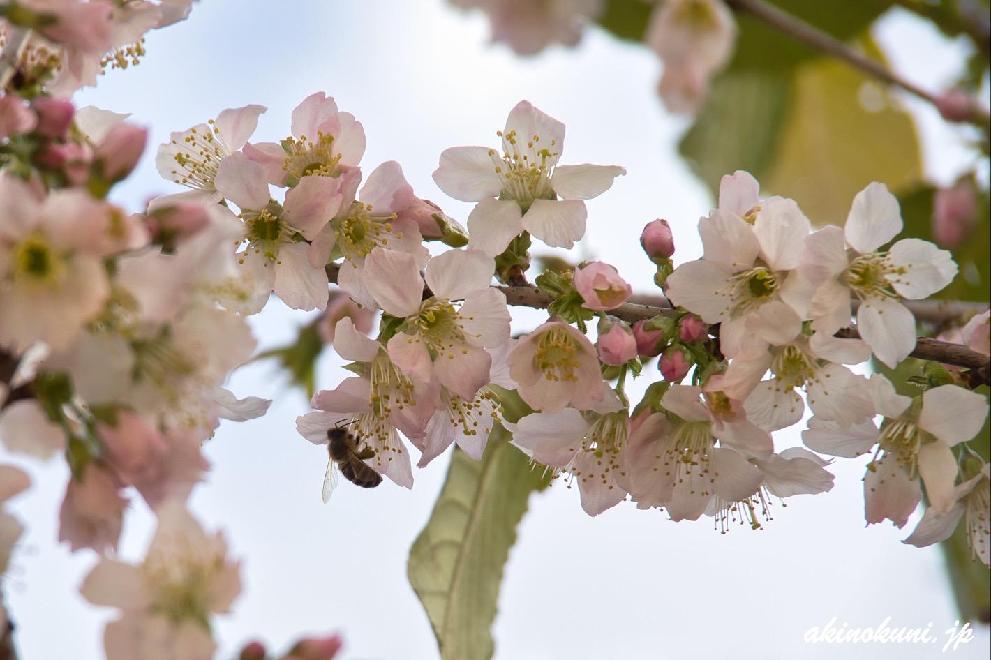 光が丘山根公園の冬桜 蜂も蜜を求めて