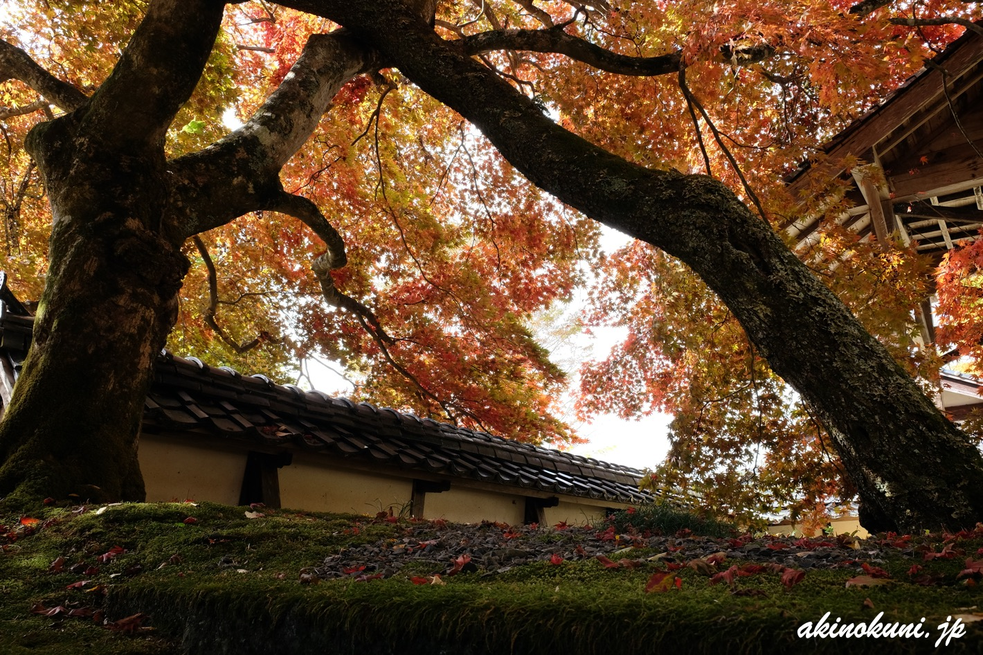 教龍寺の紅葉 樹齢300年の紅葉と枝垂桜