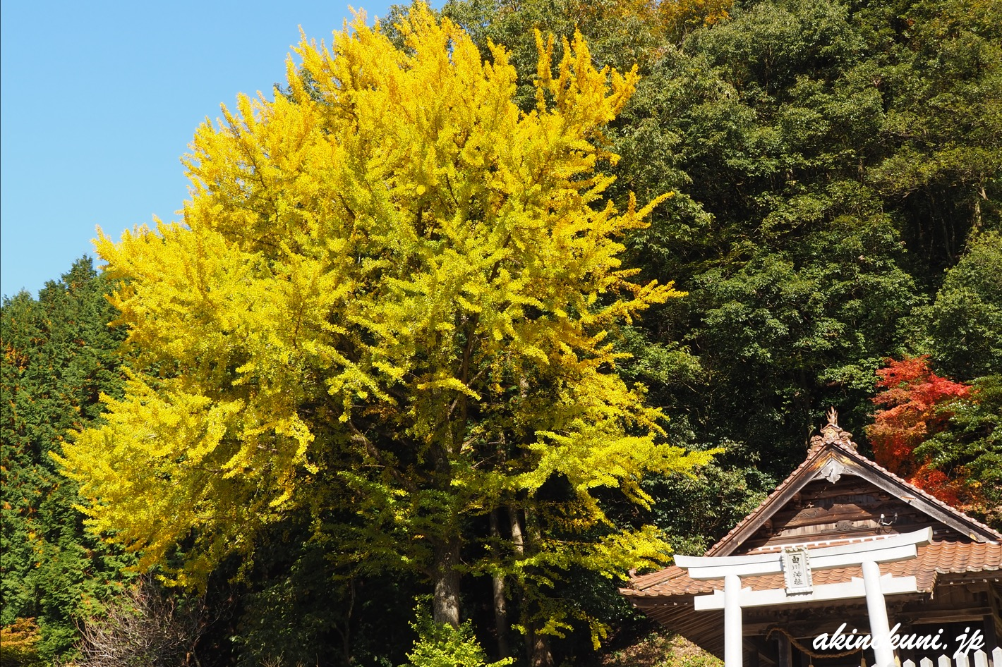 白川神社の銀杏