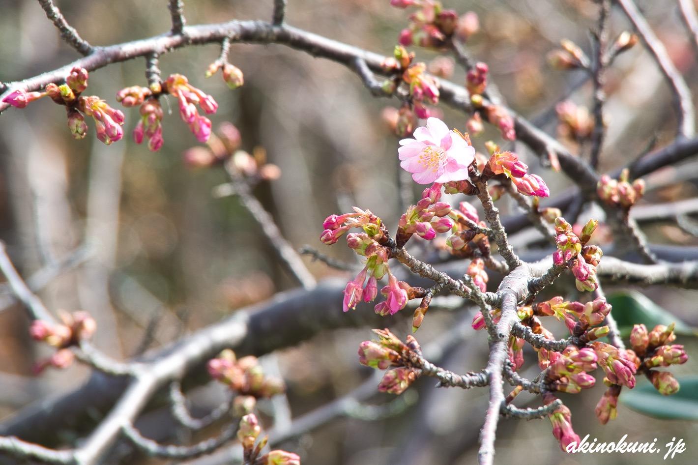 ハート島を観る場所の河津桜 1