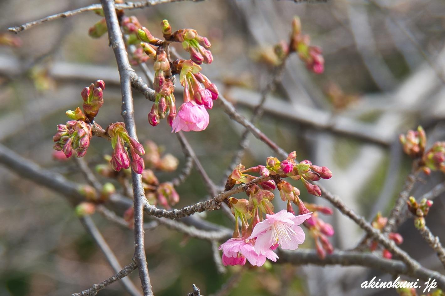 ハート島を観る場所の河津桜 2