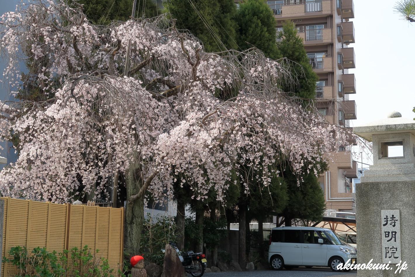 持明院の枝垂れ桜 2021年