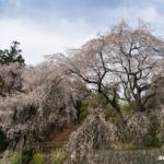 神原のしだれ桜 2021年3月27日