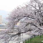 桜と広電電車