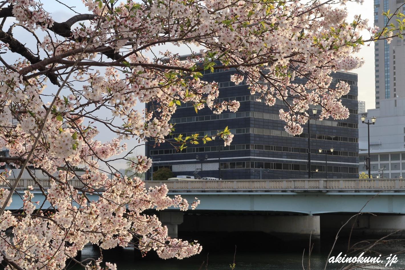本川の桜と広電電車 2021年