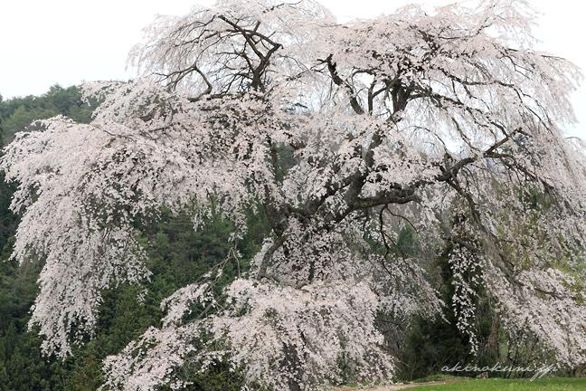 ドライブ:与一野のしだれ桜(広島県安芸太田町)   安芸の国から